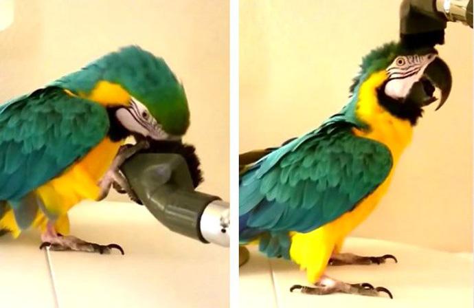 Папагал со многу необична опсесија