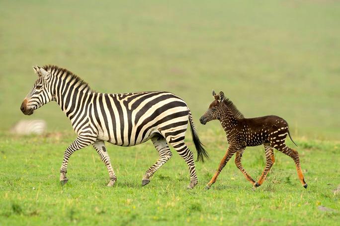 Мало чудо на природата: Се роди зебра со точки