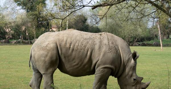 Дали ќе ги спасиме северните бели носорози од истребување?